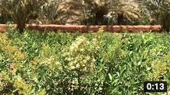 モロッコのヘナ産地